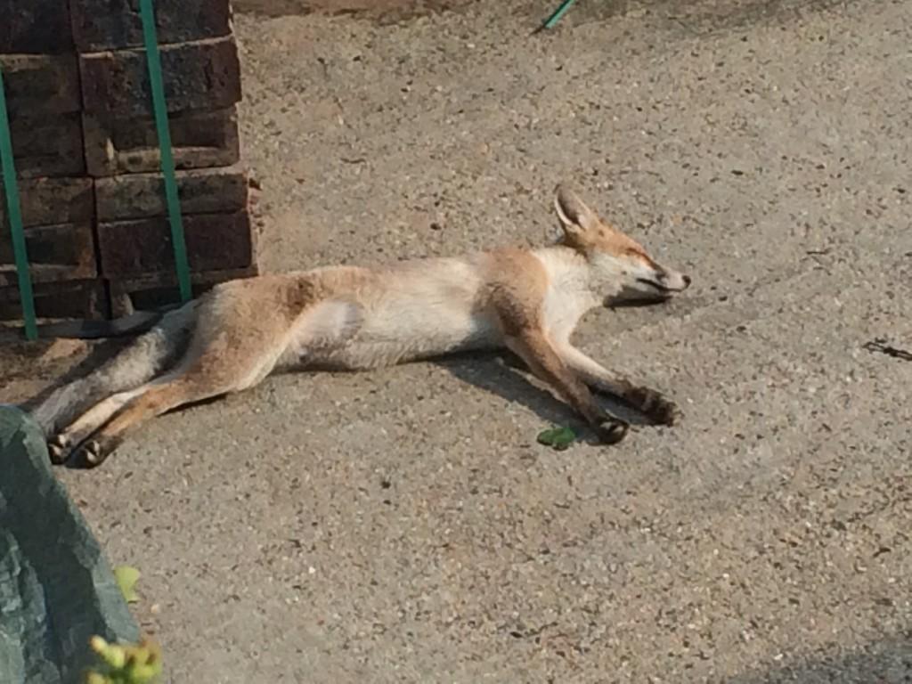 my fox, my Syd